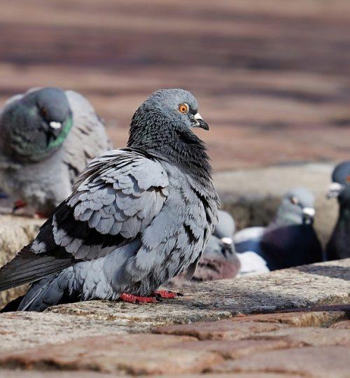 pigeon pests